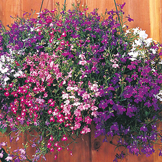 Lobelia (Trailing) Regatta Mixture Flower Seeds