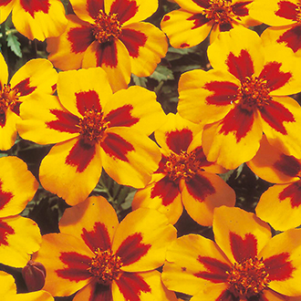 Marigold (French) Naughty Marietta Flower Seeds