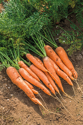 Carrot Maestro F1 AGM Seeds