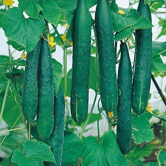 Cucumber (Outdoor) Burpless Tasty Green F1 Seeds