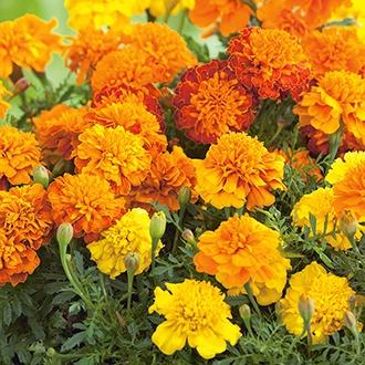 Marigold (French) Boy O'Boy Mixed Flower Seeds