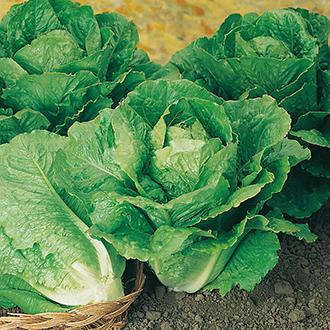 Lettuce Winter Density AGM Seeds