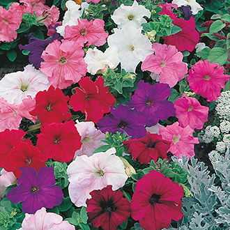 Petunia (Grandiflora) DTB Special Mixed F1 Flower Seeds