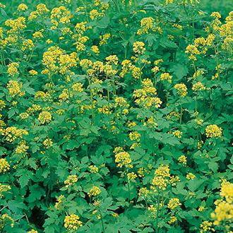 Green Manure Mustard (White) Seeds