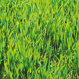 Green Manure Winter Rye Seeds