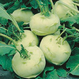 Kohl Rabi Olivia F1 AGM Seeds