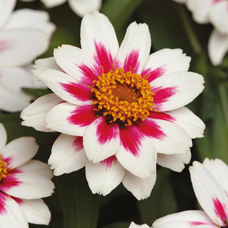 Zinnia Zahara Rose Starlight Flower Seeds