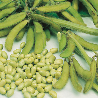 Soya Bean Elena Seeds