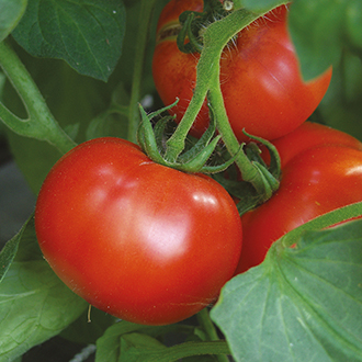 Tomato Shady Lady F1 Seeds