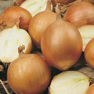 Onion (Globe) Bonus F1 Seeds