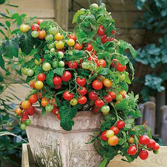 Tomato Koralik F1 Veg Seeds