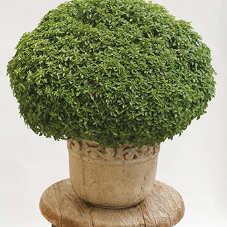 Basil Aristotle Herb Seeds