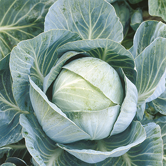Cabbage Kilazol F1 Veg Seeds