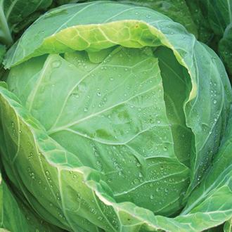 Cabbage Sennan F1 Seeds