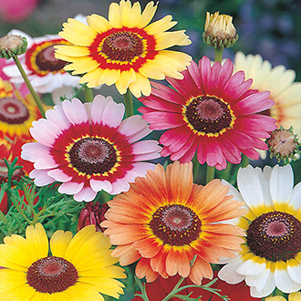 Chrysanthemum Rainbow Mixed Flower Seeds