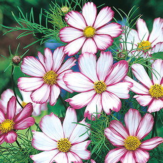 Cosmos Candy Stripe Flower Seeds