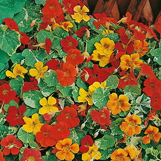 Nasturtium Alaska Mixed AGM Flower Seeds