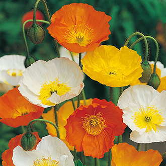 Poppy Iceland Mixed Flower Seeds