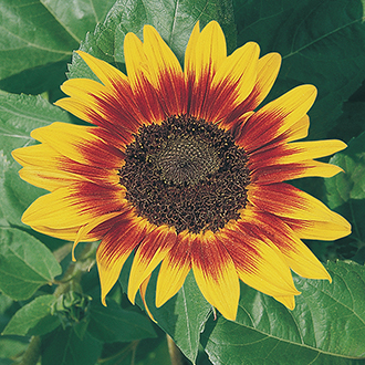 Sunflower (Tall) Ring of Fire Flower Seeds