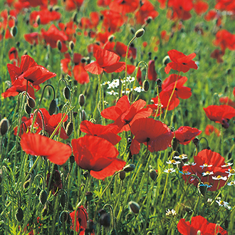 Poppy Wild Poppy Flower Seeds