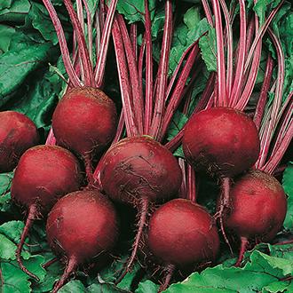 Beetroot Kornett Seeds