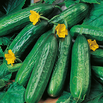 Cucumber (Indoor) Emilie F1 AGM Seeds