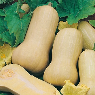 Squash (Winter) Hercules F1 Seeds