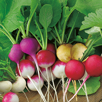 Radish D.T. Brown's Rainbow Blend Seeds