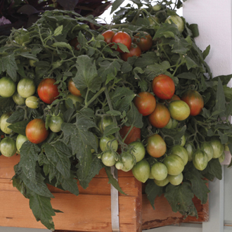 Tomato (Cherry) Tumbling Tiger Seeds