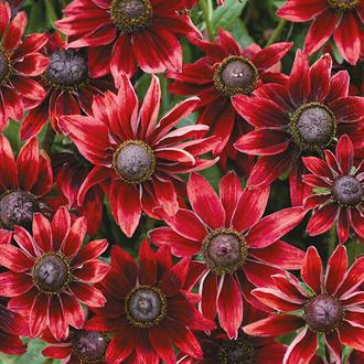 Rudbeckia Cherry Brandy Flower Seeds