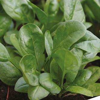 Salad Leaves Spinach Lazio F1 Seeds