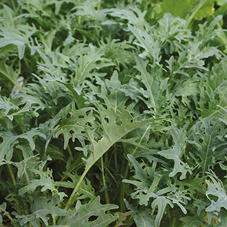 Salad Leaves Kale Fizz Seeds