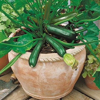 Courgette Midnight F1 Seeds