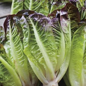 Lettuce Amaze AGM Seeds