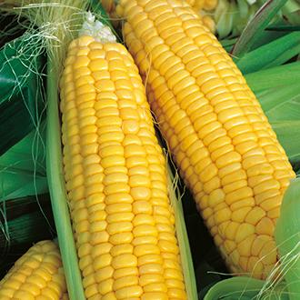 Sweetcorn Lark F1 AGM Seeds