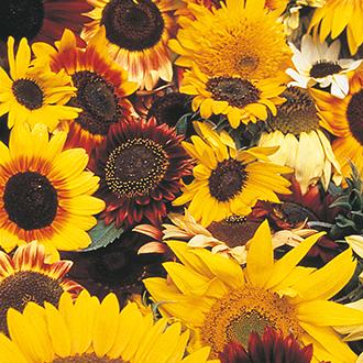 Sunflower D.T. Brown Mixed Flower Seeds