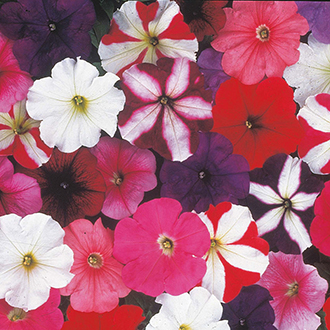 Petunia (Multiflora) D.T. Brown Special Mixed F1 Flower Seeds