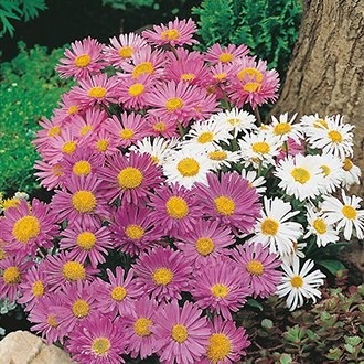 Aster (Perennial) alpinus Trimix Flower Seeds