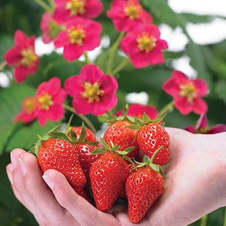 Strawberry Toscana Seeds