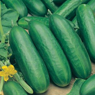 Cucumber Socrates F1 (Indoor) AGM Plants