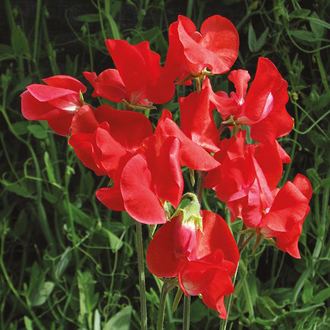 Sweet Pea Air Warden Flower Seeds