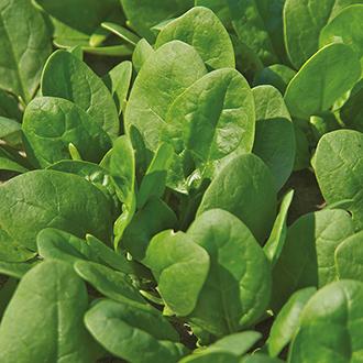 Spinach Trumpet F1 Seeds