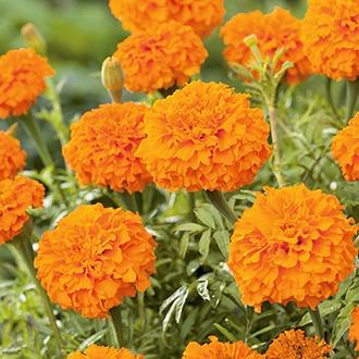 Marigold (African) Kees Orange Flower Seeds