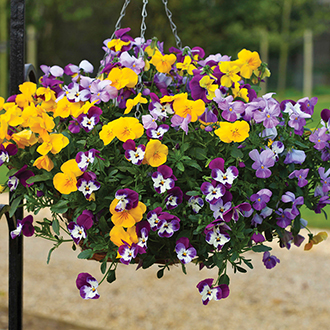 Pansy (Winter) Freefall Mixed F1 Flower Seeds