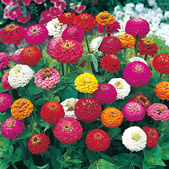 Zinnia Sprite Mixed Flower Seeds