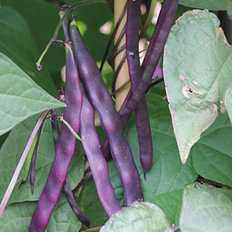 French Bean (Climbing) Violet Podded Seeds