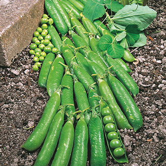 Pea Little Marvel Seeds