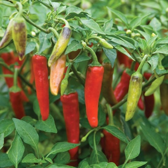 Pepper (Hot) Gusto Green F1 Seeds