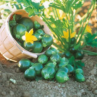 Courgette Eight Ball F1 Seeds