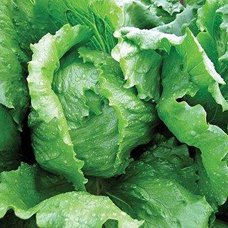 Lettuce Wismar Seeds